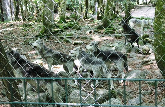 La Maison des Loups : The canadian pack waiting for food (the black wolf is a young one)