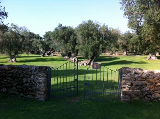Tenuta Monacelli & Masseria Giampaolo : Olive trees around the pool