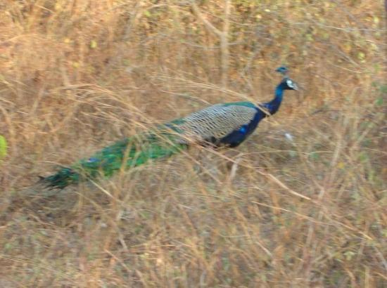 Sultanpur National Park Bird Sanctuary: peacock in the wilds