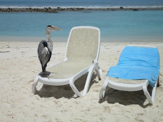 Kuramathi Island Resort: heron wanting to be close to us!