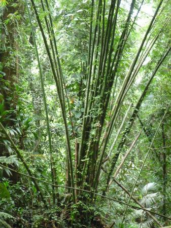 Tobago Forest Reserve: Beautiful Bamboo