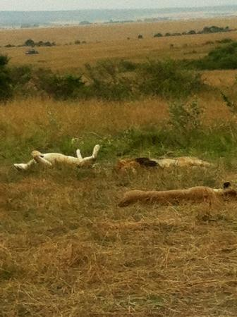Fig Tree Camp: Lions resting