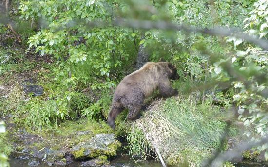 Russian River: bear moving on