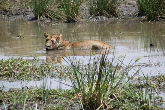 Sekenani Camp: Lioness taking a bath