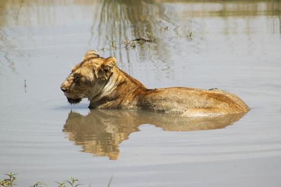 Sekenani Camp: Closeup of lioness taking a full bath (rare photo)