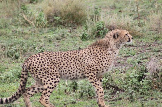Sekenani Camp: Cheetah on the prowl