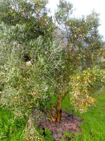 Gooding's Groves Olive Farm & Guest House: Beautiful Olive Trees