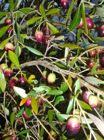 Gooding's Groves Olive Farm & Guest House: Olives on the trees