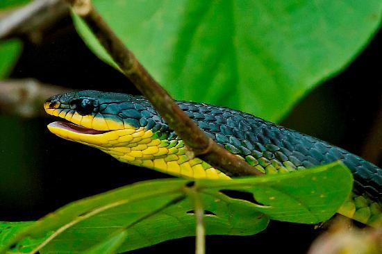 Daintree Boatman Nature Tours: Green Tree-snake