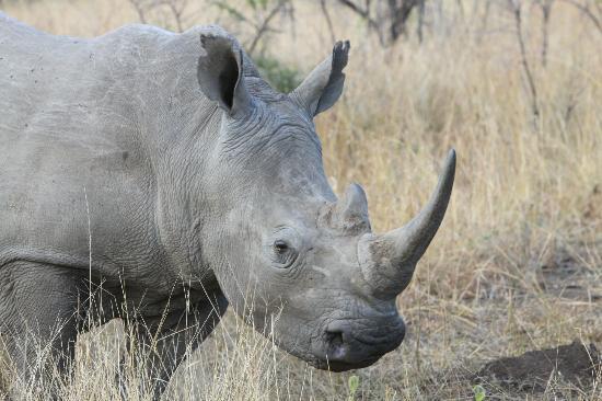 andBeyond Phinda Mountain Lodge: White Rhino