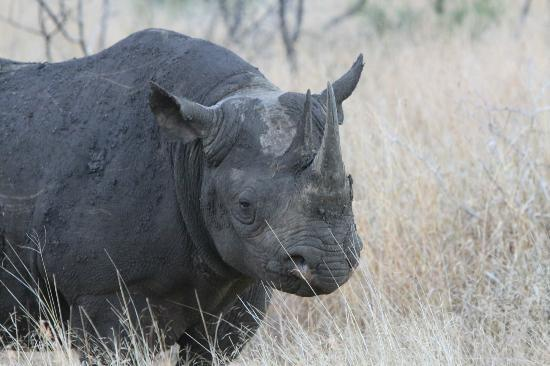 andBeyond Phinda Mountain Lodge: Black Rhino