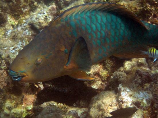 Ike's Place Vientos del Norte: parrot fish