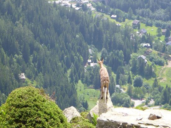 Lac Blanc: One of many frisky ibex bounding energetically nearby
