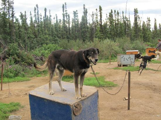3 Dog Night Hostel: One of the very nice sled dogs