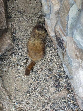Forest Canyon Overlook: Marmot