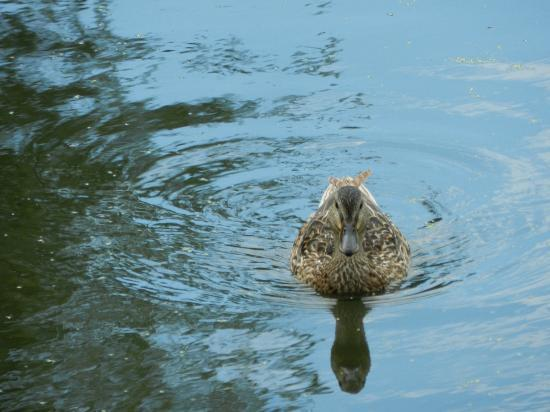 Japanese Gardens : duck that was on the cleaner part of the waterway