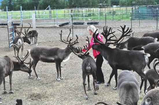 Feeding Hungry Reindeer Picture Of Reindeer Farm Palmer Tripadvisor