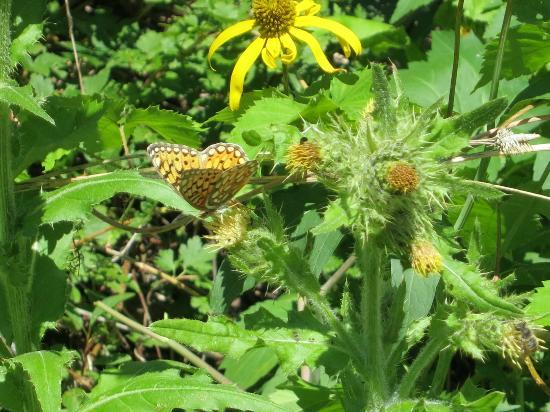 Curecanti Creek : Butterfly and thistle