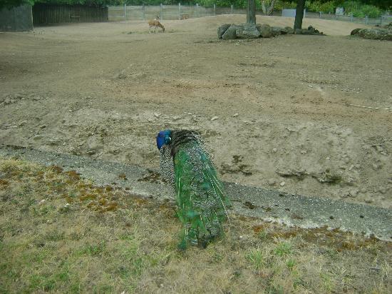 The Buffalo Zoo: peacock