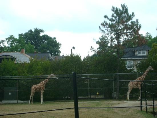 The Buffalo Zoo: giraffes
