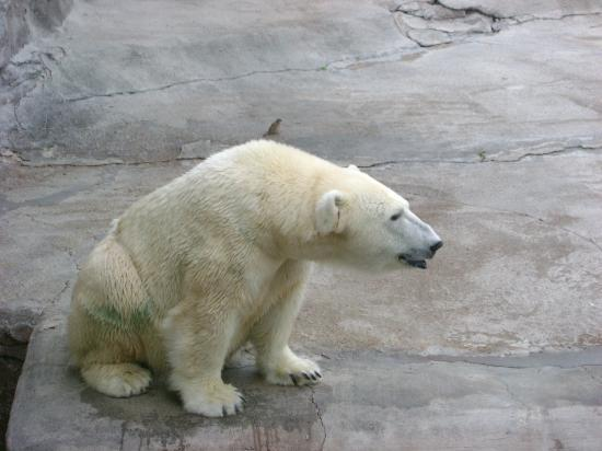 The Buffalo Zoo: polar bear