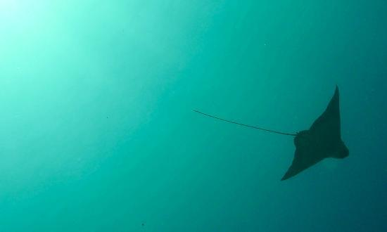 Komodo Resort & Diving Club: Eagle Ray