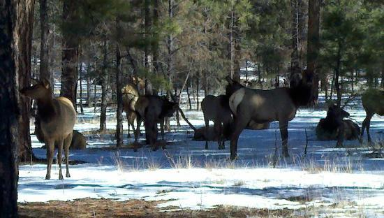 Grand Canyon Jeep Tours & Safaris: Elk in the Kaibab Forest