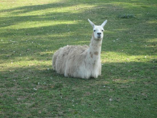 The 1661 Inn: A peaceful llama. Also a yak, ponies, multiple geese, chickens (mother hen and chicks) nearby.