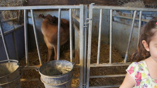 Middle Farm: baby cow