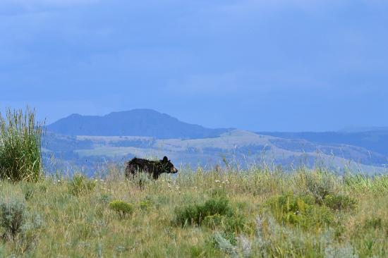 Yellowstone Forever: Yearling Black Bear