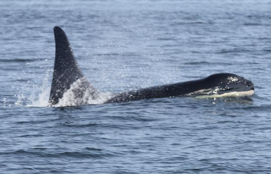 Sidney Whale Watching: A female Orca comes up for air