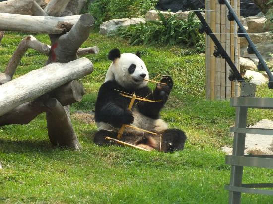 Macau Giant Panda Pavilion: Kai Kai