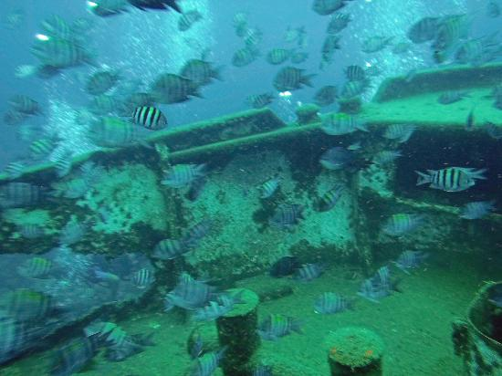 Diving Dominican Republic: School of Sergeant Major around anchor line over the Atlantic Princess