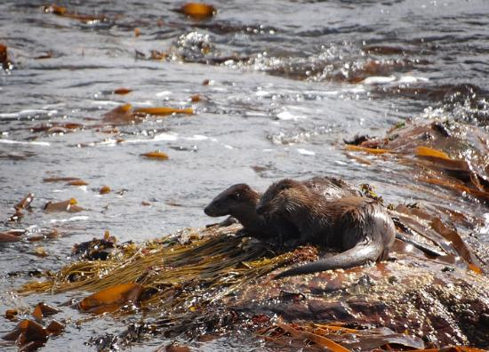 Perfume Studio: The otters were in full view on the shore, captured on camera by Chris Reed