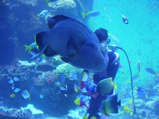 Oita, Jepang: サンゴ大水槽での水中散歩。「ナポレオンフィッシュと泳ぐ日」
