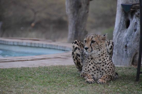 Tshukudu Game Lodge: Cheetah working on her tan