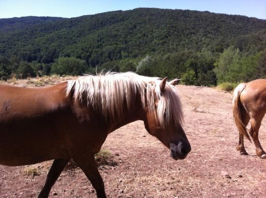 Agriturismo Il Cornacchino: cavalli avellinesi al pascolo