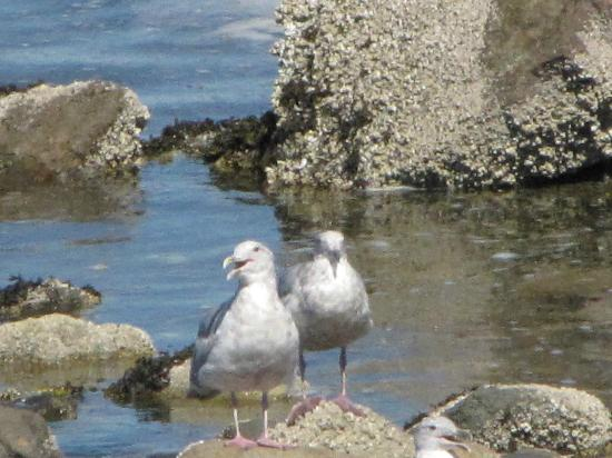 Kingfisher Oceanside Resort and Spa: Seagulls at beach