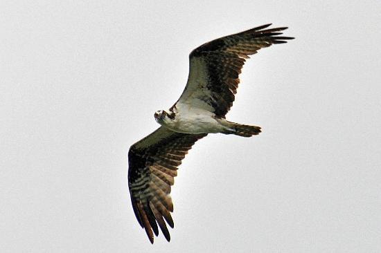 Admiral on Baltimore: Osprey