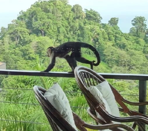 Tulemar Bungalows & Villas: Monkey on balcony
