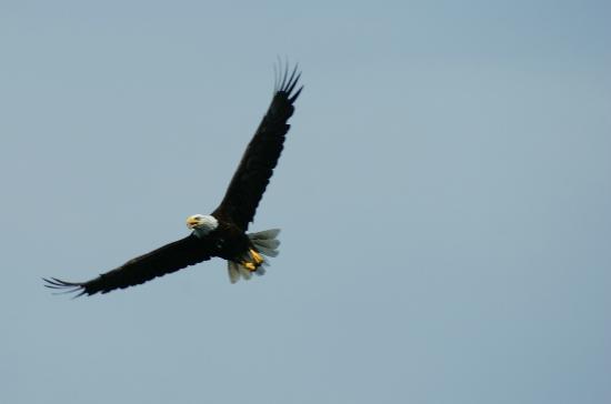 Grizzly Bear Lodge & Safari: Bald Eagle
