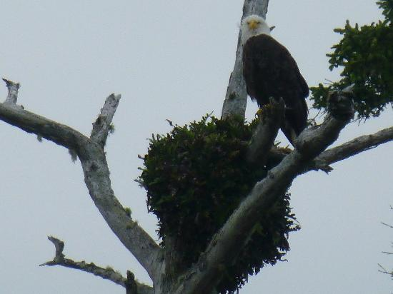 Wild Pacific Bed and Breakfast: Bald Eagle at W. P. T.