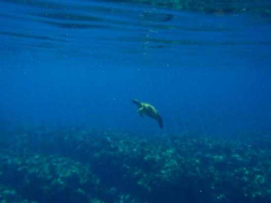 Ultimate Whale Watch & Snorkel: Swimming with a Sea Turtle.