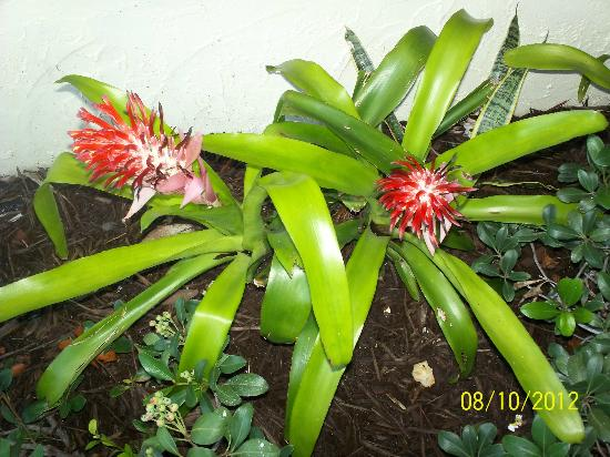 Bromeliads in the tropical garden outside the Saint Augustine Beach House