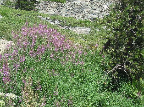 Mt. Tallac Trail : Wild flowers on the trail