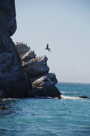 Morro Bay, CA: Birds launch from Morro Rock