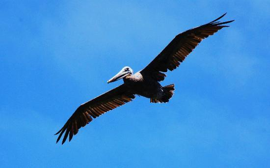 Kayak Shack: Pelicans up close