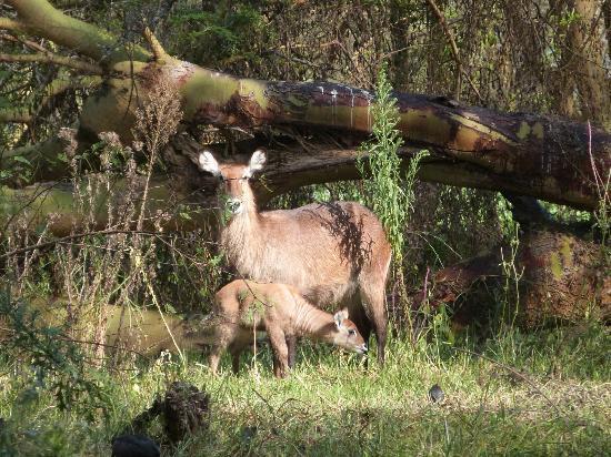 Lake Naivasha Resort: Waterbuck family on grounds