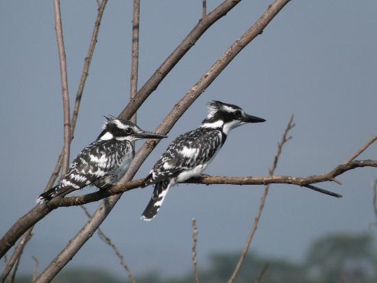 Lake Naivasha Resort: Pied kingfishers on boat trip