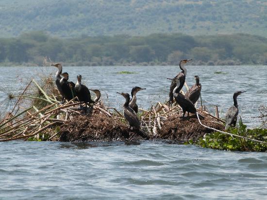 Lake Naivasha Resort: Boat trip on the lake & cormorants